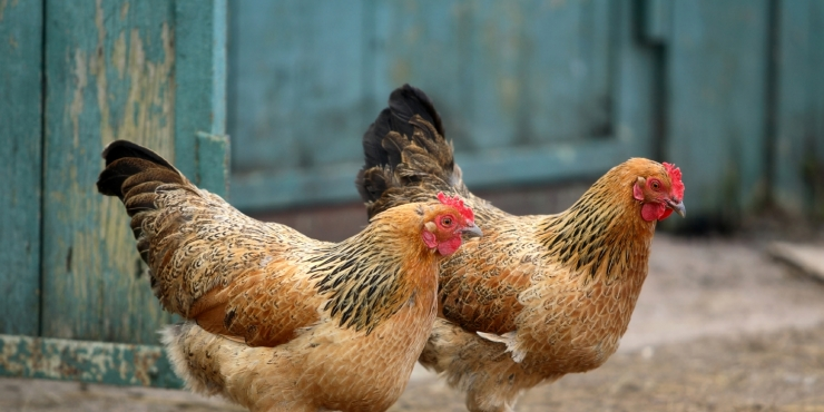 Kippen als afvalverwerkers